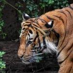 tiger dads